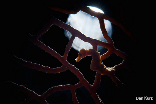 D7100 underwater photo of pygmy seahorse backlit