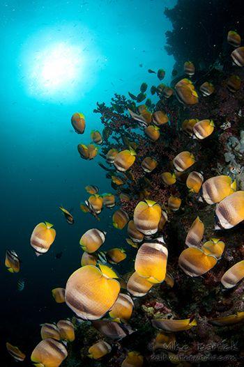 Butterflyfish Lembeh