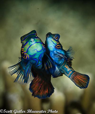 mandarin fish underwater