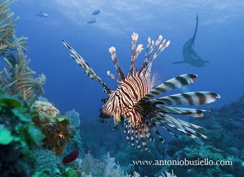 Lionfish Caribbean