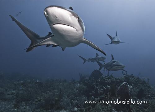 Shark Caribbean