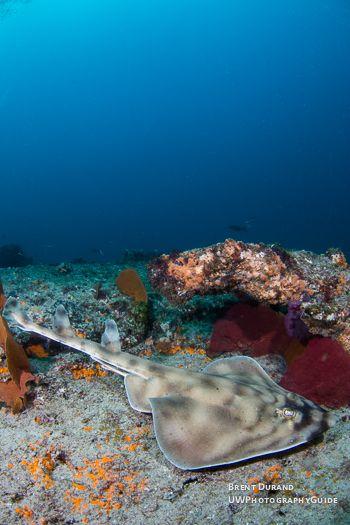 banded guitarfish
