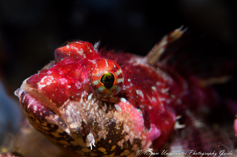 Sculpin photographed with the Sea & Sea YS-D3 snoot