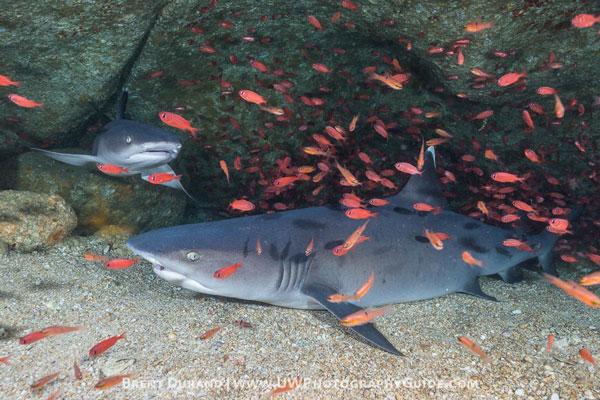 whitetip shark Cabo San Lucas