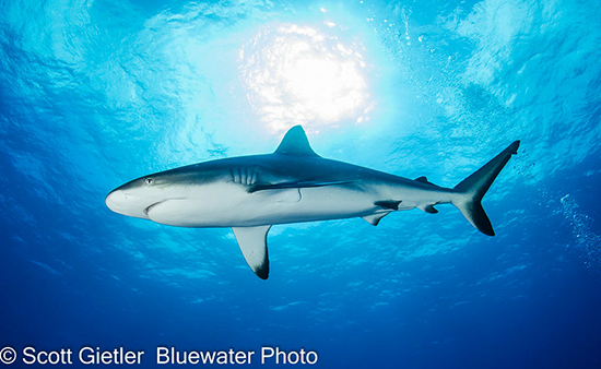 Polynesian Sharks Mouth By Cameron Rutten: Wall Of Sharks, Thousands Of Groupers & More In French