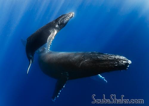 humpback whale socorro