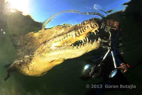 Jardines de la Reina Crocodile