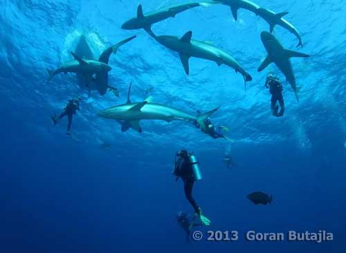 Jardines de la Reina Sharks