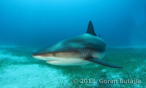 Jardines Reef Shark