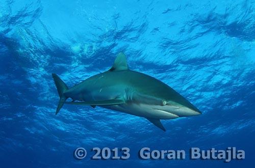 Jardines de la Reina Shark