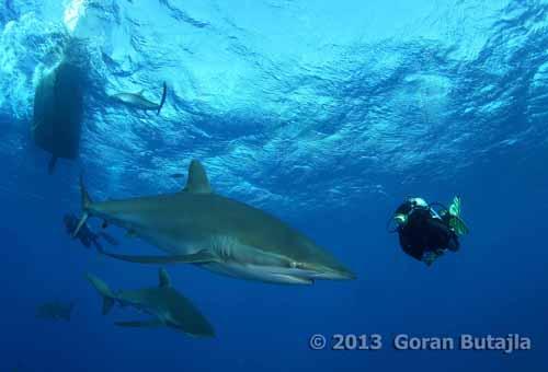 Jardines Silky Shark