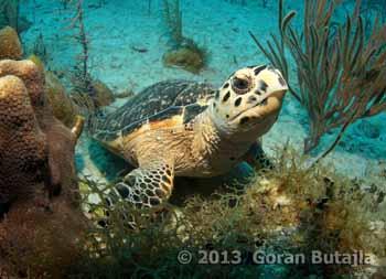 jardines sea turtle