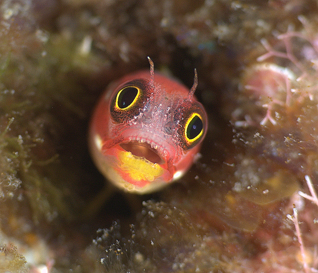 Mexican Barnicle Blenny