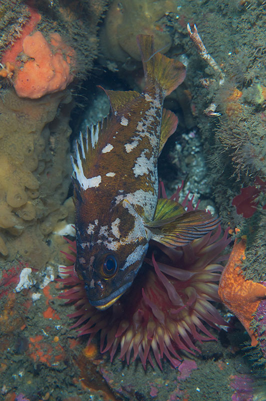 Gopher Rockfish over Whitespotted Anemone
