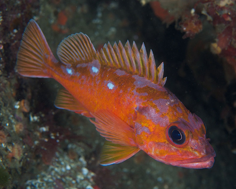 Rosy Rockfish