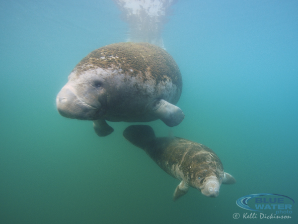 Manatee in Crystal River