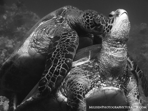 sea turtles mating in hawaii