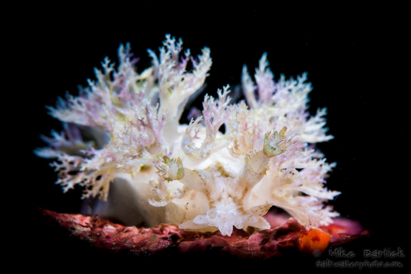In addition to the abundance of critters in Anilao, we are also known to be the nudibranch capital of the world. We found this stunner while night diving on the CBR house reef. This super white nudi was fringed with purple. Visually, the contrast of colors was very subtle and bringing out the dark colors without overexposing the whites was a challenge. I worked at for a few minutes using my snoot before sharing it with the next guest. Our guide kept us all snapping away on another crazy, Anilao night dive. – Mike Bartick