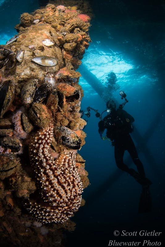 Diving California Oil Rigs - underwater photography