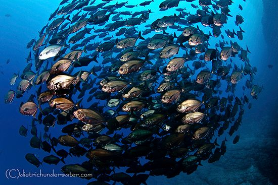 Pelagic Fish School Photography