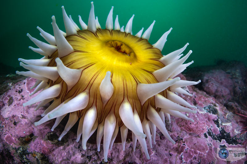 This image shows the beautiful image quality and dynamic range that the R6 is capable of capturing. This anemone was photographed with the Canon EOS R6 and Canon 8-15mm fisheye lens in an Ikelite EOS R6 housing. The image was slightly underexposed and adjusted in post processing. This image shows the quality of the details recovered. f/13, 1/60, ISO 320