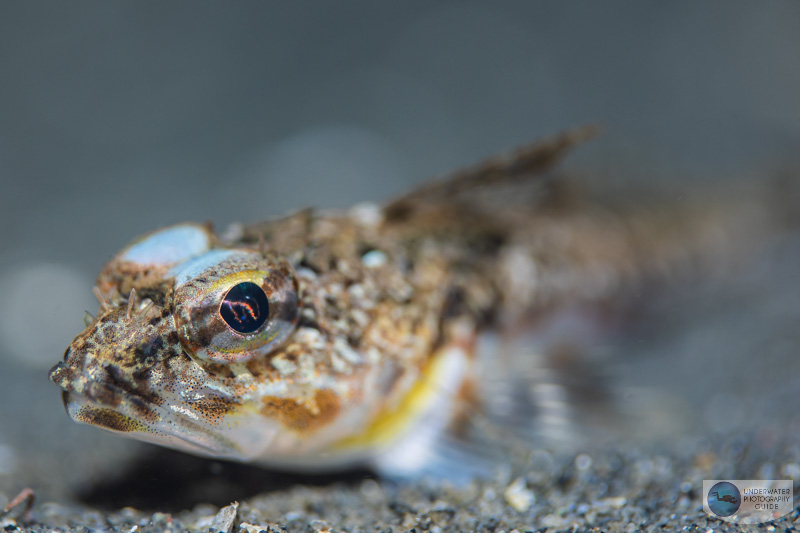 This sculpin was photographed with the Canon EOS R6 and Canon 100mm macro lens in an Ikelite underwater housing. The 100mm macro produces beautiful bokeh. 1/160, f/3.2, ISO 200