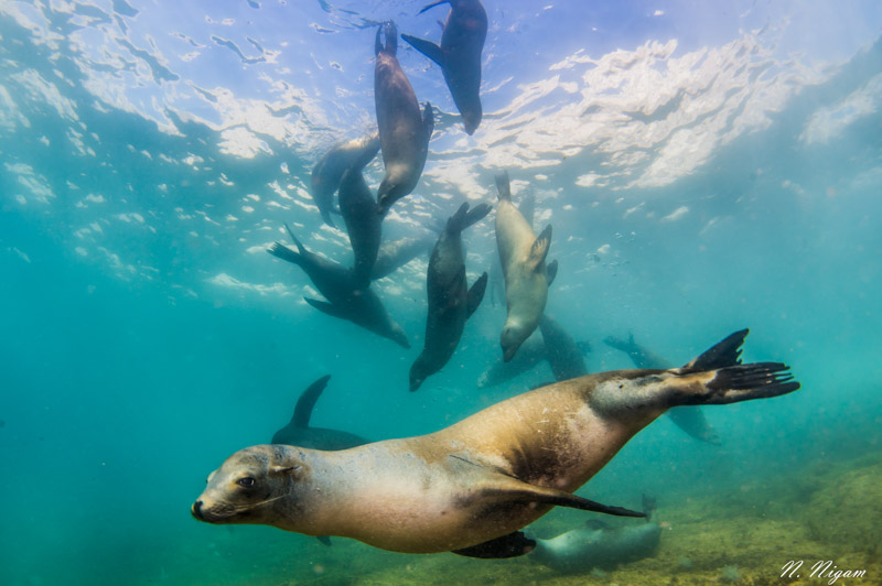 Sea lions photographed with dual Sea & Sea YS-D3 strobes, Nikon Z6, Ikelite Z6 housing, Nikon 8-15mm fisheye lens. f/11, 1/125, ISO 400