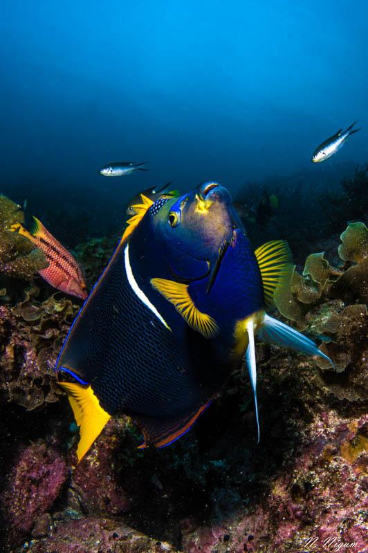 King Angelfish Photographed with a Nikon Z6, Ikelite Nikon Z6 Housing, dual Sea & Sea YS-D3 strobes, and a Nikon 8-15mm fisheye lens