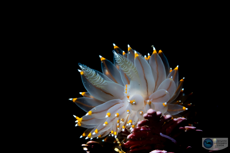sony a1 underwater photo of a nudibranch