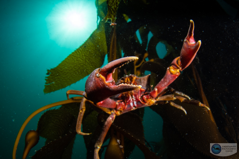 Kelp crab photographed with the Sony A1, Canon 8-15mm fisheye & metabones adapter, Ikelite A1/A7S III housing. f/16, 1/400, ISO 100