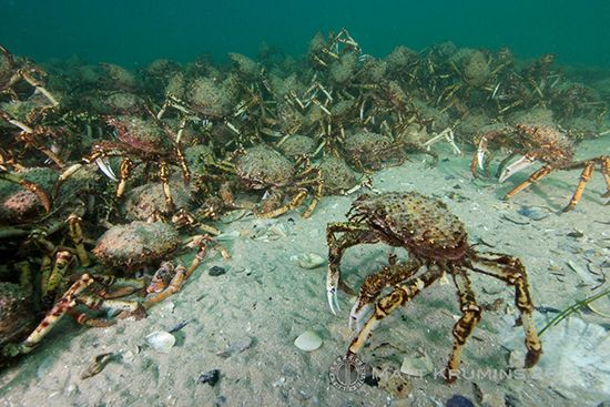 Spider Crabs at Rye Pier in Victoria Australia