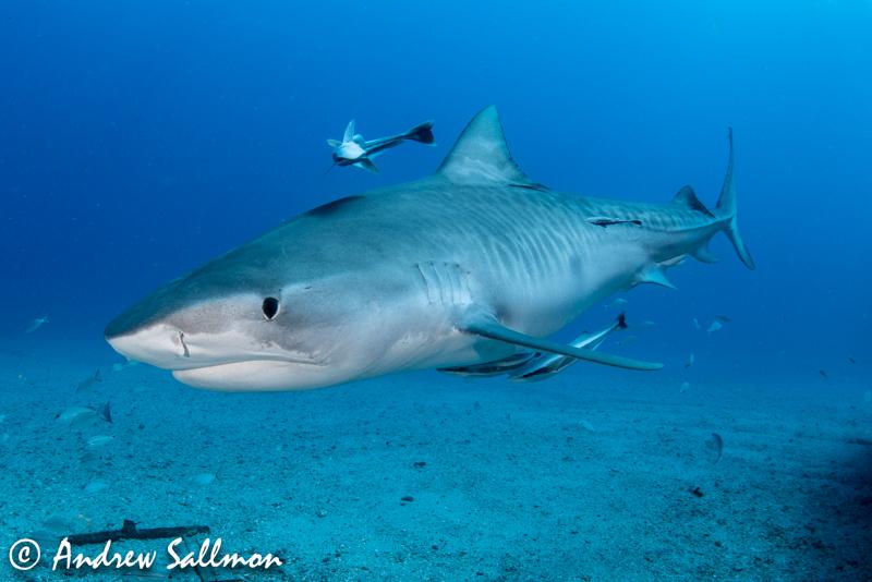 tiger shark, universal dome port