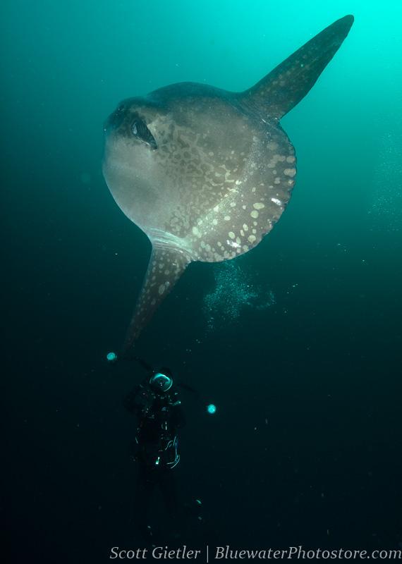 Mola mola Galapagos