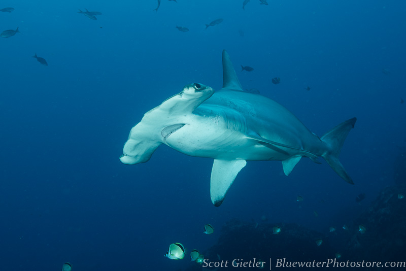 Galapagos hammerhead shark