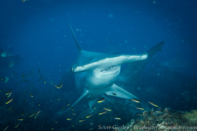 Hammerhead shark underwater photography tips