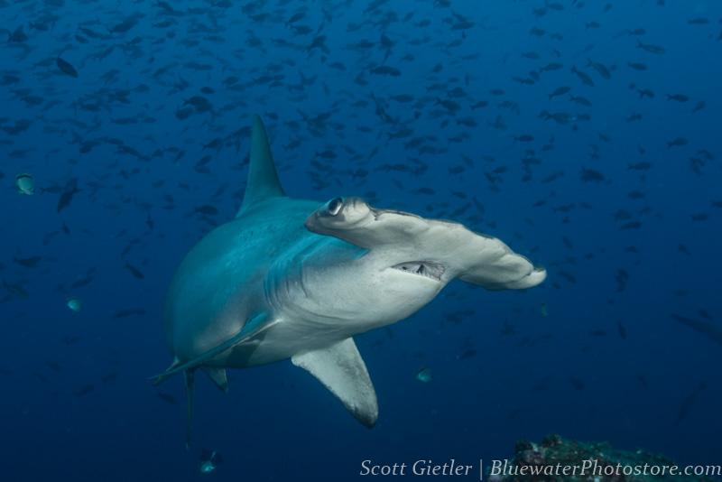Galapagos hammerhead shark underwater