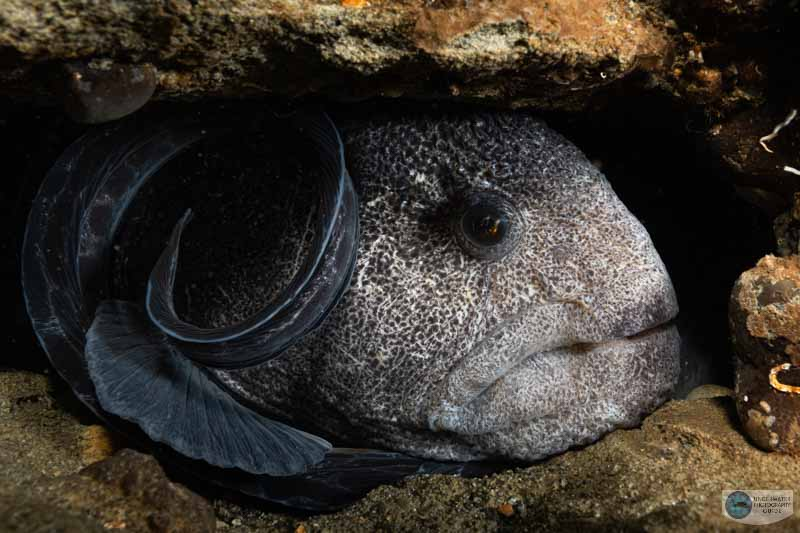 Wolf eel in its den photographed with a Nikon Z 7II in an Ikelite Z 7II housing, dual Ikelite DS 161 strobes, an Ikelite TTL converter for Nikon, and the Nikkor Z 14-30mm f/4 lens. f/13, 1/30, ISO 640