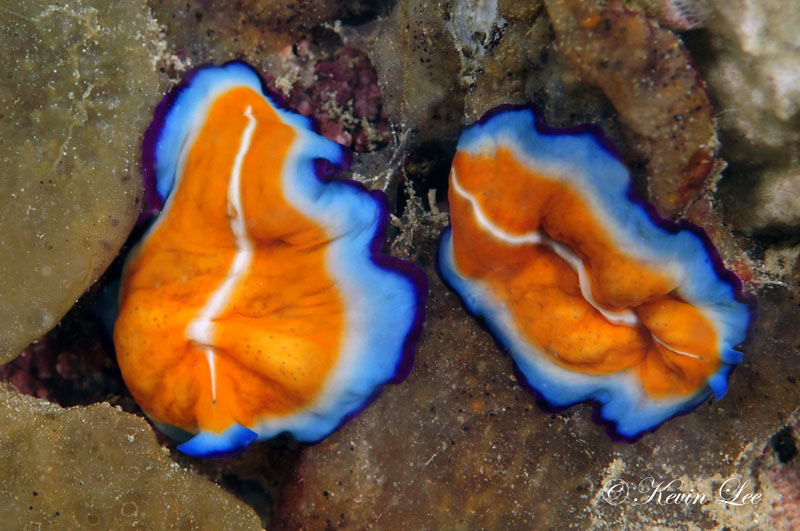 Beautifully colored flatworms