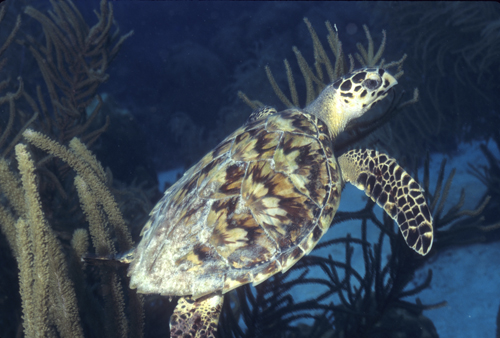 hawkbill turtle seen underwater while diving Bonaire