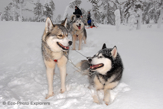 The dog sled team is led by Siberian Huskies