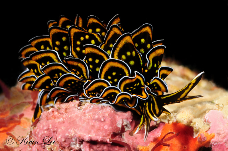 Beautiful nudibranch of Knya
