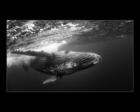 DH humpback whale