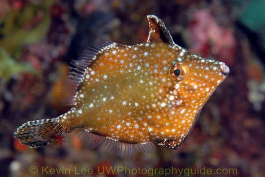 filefish jeju underwater