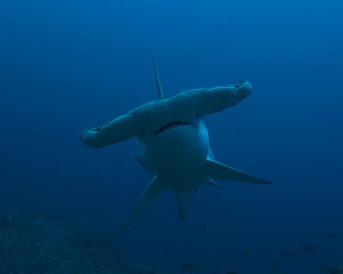 hammerhead sharks in socorro