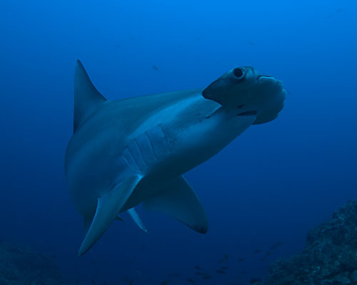 hammerhead shark underwater photography