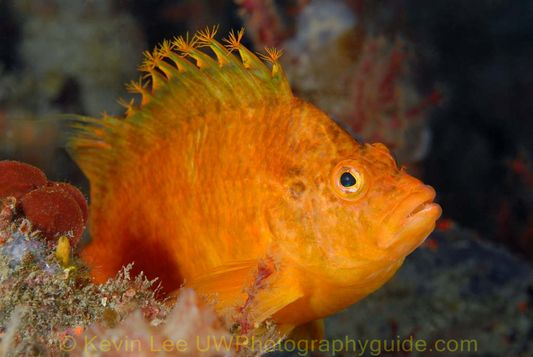 hawkfish jeju underwater