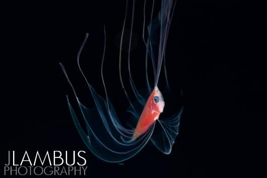 J. Lambus