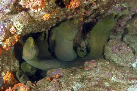 moray eels underwater photo, la paz, baja, mexico