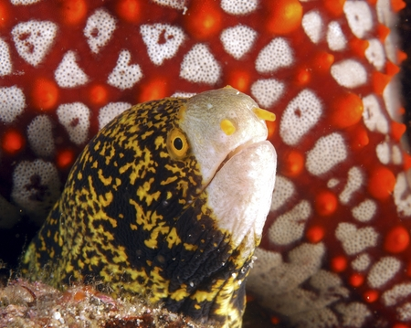 whiteface moray eel, diving baja, mexico