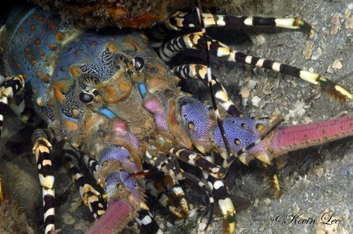 Kenyan Lobster